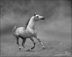 Like the wind (Equus Images / Synesthesia Studios) Tags: horse liberty grey freedom mono blackwhite arabian stallion canter equine equus
