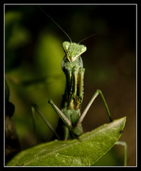 PREYING MANTIS (Gib Rock Photography) Tags: leaves gardens canon mantis insect geotagged botanical eos leaf prey 1855mm alameda efs preying positively canon botanical gardens david 1855mm eos mantis eos reyes preying efs 1000d gibraltar 1000d exposed
