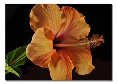 Orange Hibiscus (Bill Gracey) Tags: lighting orange flower beauty blackbackground flor hibiscus focusstacking tabletopphotography maximumdepthoffield