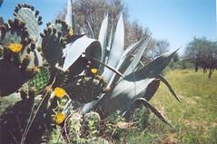 Agave & Cactus