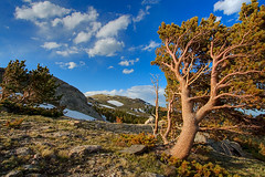 whichever way the wind blows (inate) Tags: colorado alpine rockymountains frontrange tundra timberline bristleconepine pinus aristata naturesfinest signalmountain rooseveltnationalforest publicland larimercounty myland comanchepeakwilderness diamondclassphotographer yourland