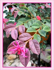 Potted Loropetalum chinense var. rubrum 'Burgundy' or Pink Chinese Loropetalum at our frontyard. Taken June 25, 2007