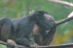 Black Howler Monkey (adult male) #3 (poplinre) Tags: usa animals zoo monkey pittsburgh pennsylvania earth unitedstatesofamerica handheld pittsburghzoo animalia mammalia 2007 primates throughglass newworldmonkey chordata blackhowlermonkey alouattacaraya alouatta canonef200mmf28lusm atelidae