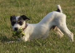 dog dogs jackrussellterrier