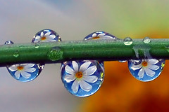friendly little water drops (Steve took it) Tags: flowers macro nature bravo drop refraction waterdrops yesitsreal flickrsbest shieldofexcellence aplusphoto