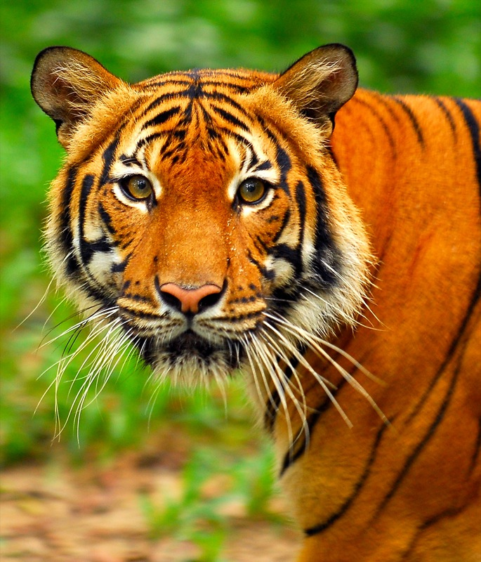 Картинки тигр в цветах