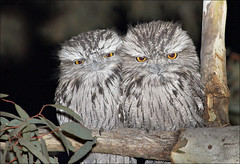 Tawny Frogmouths at dusk (aaardvaark) Tags: togetherness couple pair australia canberra act gloaming tawnyfrogmouth mtainslie frogmouth podargusstrigoides podargus ex1 ix13 diamondclassphotographer 20070725088302~tafr