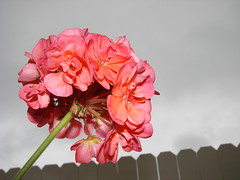 Geranium flower against sky and fence - by Martin LaBar