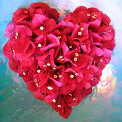 I Heart You (a m photography) Tags: flower love us petals heart valentine bougainvillea flowersonblue