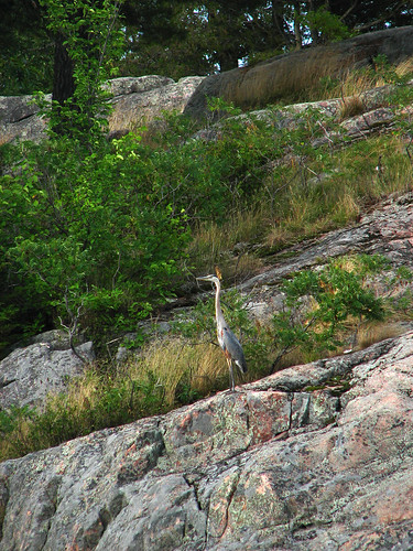 Blue Heron - Burleigh Falls, Ontario Canada