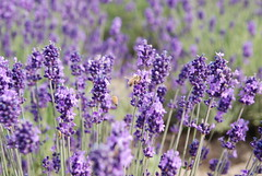 Lavender - by saturday_flowers