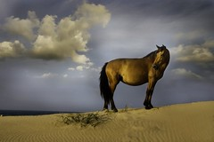 Born Free (littlelakey) Tags: horse beach bravo dunes northcarolina corolla wildhorses perfection wildhorse goldenlight naturesfinest corola littlelakey animalkingdomelite mywinners impressedbeauty goldenphotographer diamondclassphotographer flickrdiamond bratanesque eliteimages dazzlingshots