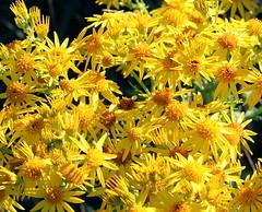 Common Ragwort - Senecio jacobaea (foxypar4) Tags: wild flower yellow golden scotland golfcourse poison common sutherland wildflower dornoch ragwort seneciojacobaea alkaloids commonragwort royaldornoch anawesomeshot impressedbeauty flowerpicturesnolimits flickrelite excapture