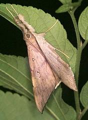 ERE Oxyodes scrobiculata (hkmoths) Tags: hongkong moth lepidoptera erebidae erebinae mothmania oxyodes scrobiculata hongkongmoths oxyodesscrobiculata nationalmothweek