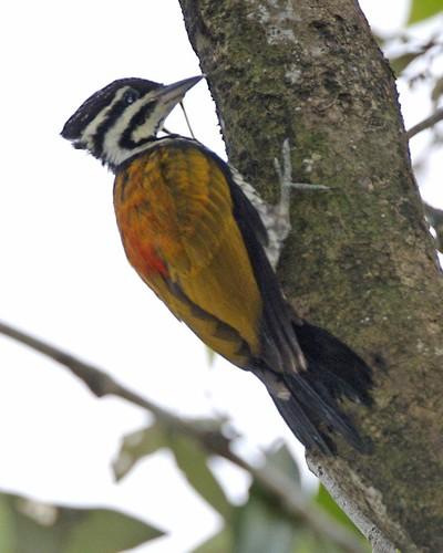 Woodpecker by Lip Kee