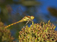 """Common Darter Dragonfly (Sympetrum s(55) • <a style=""""font-size:0.8em;"""" href=""""http://www.flickr.com/photos/57024565@N00/1342482035/"""" target=""""_blank"""">View on Flickr</a>"""