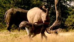 008 02 dinofelis and rhinos