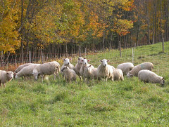 Fall sheep grazing in Vermont