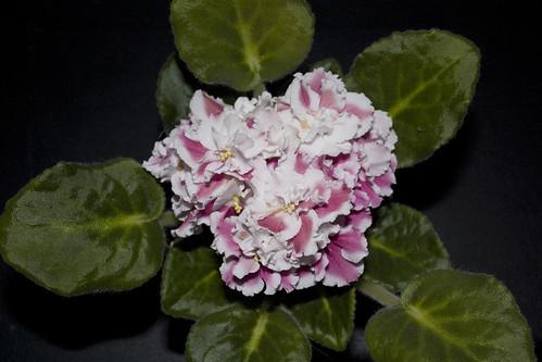 Saintpaulia cv.