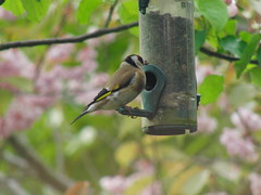 Goldfinch on Nyger Seed Feeder (Alex Staniforth: Wildlife/Nature Photography) Tags: alex wildlife goldfinch casio staniforth exfh20