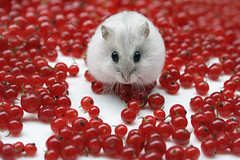 Mitza with redcurrant berries (Dragan*) Tags: christmas xmas red portrait pet baby pets white plant macro cute love nature colors beautiful face look animal fruit fur mouse nose rodent spring cool eyes furry berry friend funny pretty colours berries heart little sweet russia expression amor small serbia young adorable fluffy valentine cutie best whiskers delicious dolce precious hamster curious sweetheart funnypics belgrade moment russian merrychristmas darling cuore amore beograd hammy valentinesday happynewyear srbija  redcurrant hammie zemun whitemouse singidunum redcurrantberries phodopussungorus