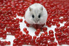 Mitza with redcurrant berries (Dragan*) Tags: christmas xmas red portrait pet baby pets white plant macro cute love nature colors beautiful face look animal fruit fur mouse nose rodent spring cool eyes furry berry friend funny pretty colours berries heart little sweet russia expression amor small serbia young adorable fluffy valentine cutie best whiskers delicious dolce precious hamster curious sweetheart funnypics belgrade moment russian merrychristmas darling cuore amore beograd hammy valentinesday happynewyear srbija 愛 redcurrant hammie zemun whitemouse singidunum redcurrantberries phodopussungorus
