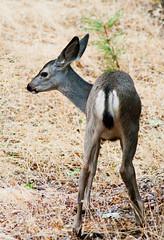 Mule Deer Faun