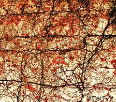 Legàmi/ Bonds (Dora Joey) Tags: legàmi bonds lacci unioni intrecci red rosso cielo sky foglie rami leaves