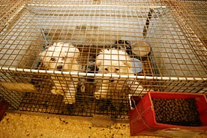 Dogs in a puppy mill cage
