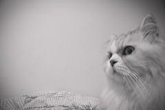 (Fieldyworks) Tags: cat sony taiwan alpha 台灣 za 貓 小蔡 a700 蔡司 金吉拉 1680mm unamourdechat