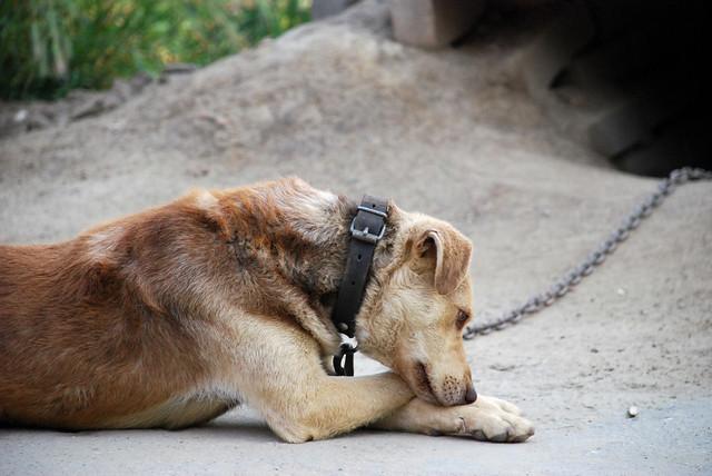 Šuo ir grandinė