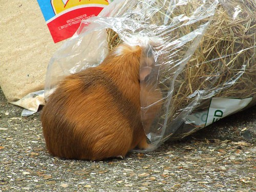 guinea pig stealing timothy hay