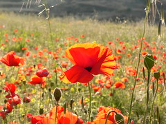 Amapolas / Poppies (Marianne Perdomo) Tags: flowers red sunlight flores atardecer afternoon explore poppies buds wildflowers rojas amapolas naturesfinest silvestres capullos safe200