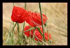 coquelicots dans le vent (flo74.) Tags: flower 20d nature canon coquelicot eos20d invit beautyisintheeye photophiles friendlycomments