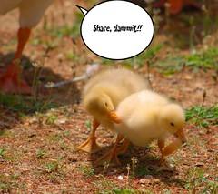 Mother Goose (Fotofever) Tags: geese humor siblings goslings sharing parenting chldren siblingrivalry siblingsfighting