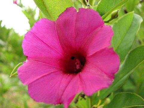 un id magenta flower