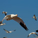 Snow Goose Subject Separation - by Fort Photo