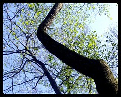 twisting and turning (indielove) Tags: sun tree green leaves trunk turning twisty twisting shakamak shakamakstatepark
