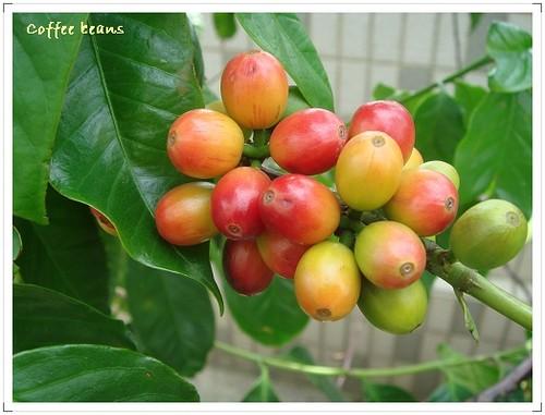 我家空中花園咖啡樹 (1)