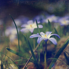 Monday blues & hues (~ Maria ~) Tags: flowers blue bokeh chionodoxaforbesii texturized vrstjrna spring2010 updatecollection