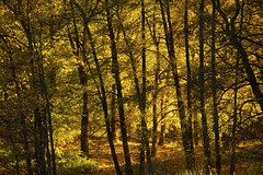 Golden forest (EnJork) Tags: wood autumn trees tree yellow forest woods sweden stockholm skog sverige gul hst trd gult sickla nacka