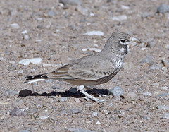 Thick-billed Lark, male (Pia's birdseye view) Tags: larks specnature thickbilledlark ramphocorisclotbey birdsofmorocco