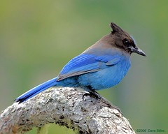 Steller's Jay - Mount Rainier National Park (Dave Stiles) Tags: fab birds bluejay mountrainiernationalpark ornithology birdwatcher stellersjay stiles specanimal wingedwonders animalkingdomelite specanimaliconoftheweek colorphotoaward avianexcellence naturewatcher bfgreatesthits theperfectphotographer goldwildlife