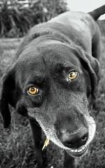 (jlwilhelm) Tags: summer bw dog goofy photoshop blackwhite lab labrador bridget pa stick goldeyes cleona