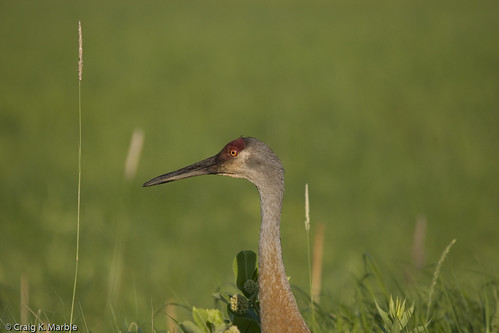 Sandhill Crane Headshot