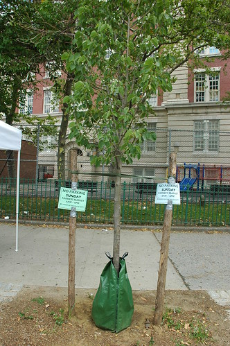 Newly Planted Street Tree on Cortelyou Road