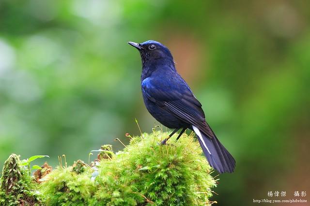 白尾鴝, White-tailed blue robin.