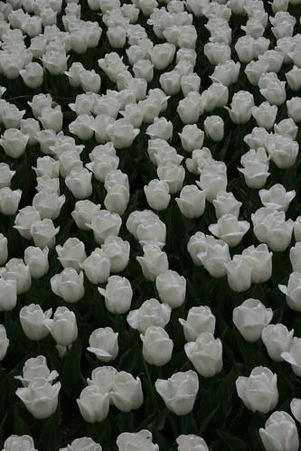 Many White Tulips