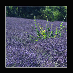 Lavendel (regina_austria) Tags: nature vivid trophy provence magical magiceye breathtaking flowerpower shiningstar globalvillage bestofflickr walkinginnature lifeshot excellence lavendel aphoto aclass yourpostcardshot naturesfinest naturesart thebigone 333views beautifulearth straightfromcamera excellenceinfloralphotography amazingnature flickrtoday 123nature theworldthroughmyeyes flickrstars addonefavoriteanother beautifulcapture flickrsmileys mywinners abigfave 30faves30comments300views plus4excellence aplusphoto ourwonderfulworld flickrhearts ultimateshot flickrplatinum faithfulflickrfriends holidaysvacanzeurlaub amazingshots superbmasterpiece diamondclassphotographer theothervillage photosandcalendar beautyisintheeyeofthebeholde amateurshighfive globalvillage2 beautifuldaysphotos superhearts excellentphotographerawards flickrelitegroup 31landscape peopleschoice heartawards onlythebestare photostosmileabout eperke flickrsun reginaaustria naturewatcher trabajarconphotoshop onlynatureaward flickrsheaven allnicethink dazzlingshots 6favsand100views