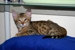***Some people have ornaments on their shelves, I have kittens. (Junglelure) Tags: cat kitten forsale florida f1 savannah f2 f3 bengals f5 bengal f4 serval available savannahs fertile f6 westcentralflorida